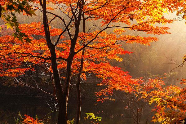 壁纸 枫叶 风景 红枫 树 600_400